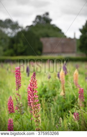 Beautiful Summer Meadow Of Vibrant Lupin Flowers In English Countryside Garden Using Shallow Depth O