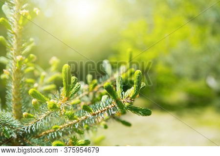 Young Shoots Of Blue Spruce. Spring Coniferous Background In The Rays Of The Sun. Coniferous Branche