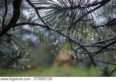 Raindrops On Pine Needles Close Up Of Raindrops On Pine Leaves Nature Background Rain In Pine Forest