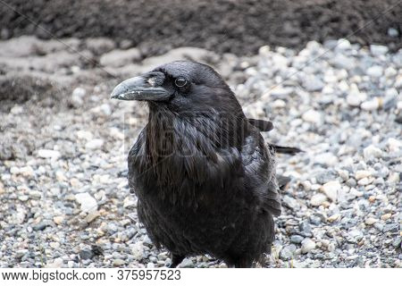 A Closeup Raven Perching On The Ground.   Banff National Park  Ab Canada