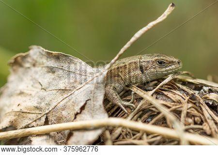 The Brown Lizard Basks On Dry Grass Blades