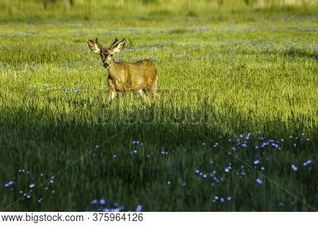 Deer In The Golden Sunlight With Blue Flowers Growing In The Green Grass