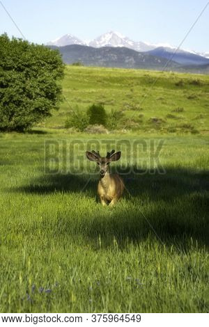 Deer In The Golden Sunlight With Mountains In The Background
