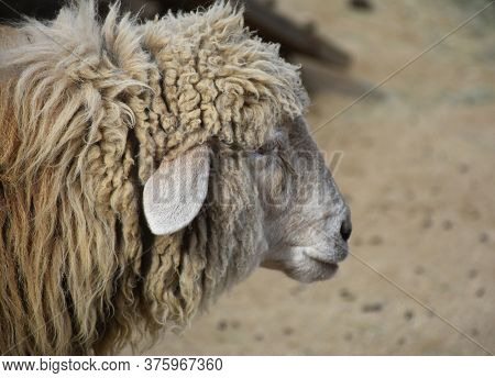 Cute Side Profile Of A Wooly Sheep In A Farmyard.