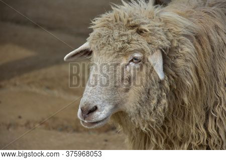 Looking Into The Sweet Face Of A Ewe In A Farmyard.