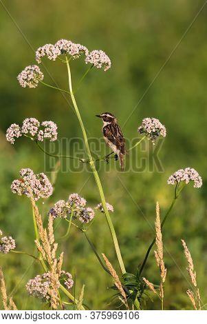 Whinchat (saxicola Rubetra) On Wild Heliotrope In Summer Sunset Light, Podlaskie Voivodeship, Poland