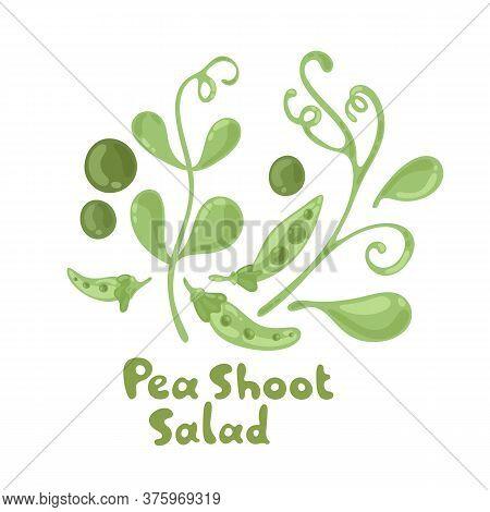 Pea Shoots Vector Vegetable Illustration. Pea Shoots Salad Ingredient. Botanical Drawing. Farm Marke