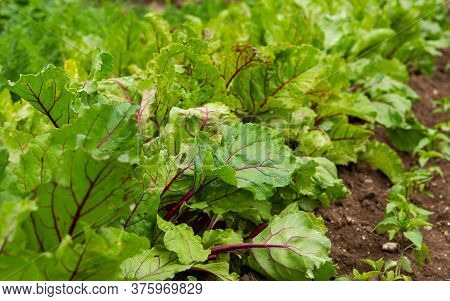 Beet Leaves In The Garden. The Cultivation Of Red Beet. Home Vegetable Garden. Leaves Close-up. Vege