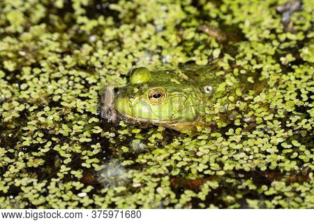 Bright Green Frog Is Hidding In The Lily Pads On A Sunny Day