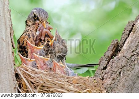 Bird Is Engaged In Feeding Its Chicks In The Nest, The Blackbird In The Nest Incubates Small Chicks