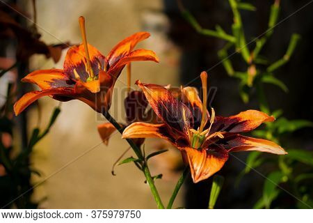Two Burning Pixels Lilies Flowers, A Variety Of Asiatic Lily, Growing In Friuli, Italy