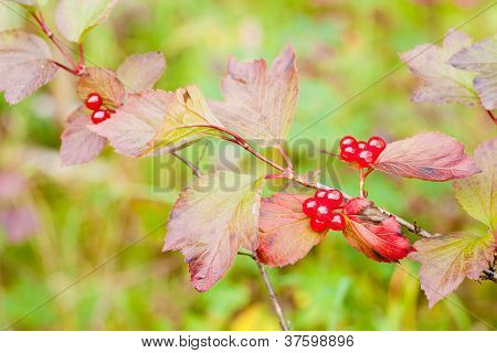 Ripe Highbush Cranberriies Viburnum edule on shrub