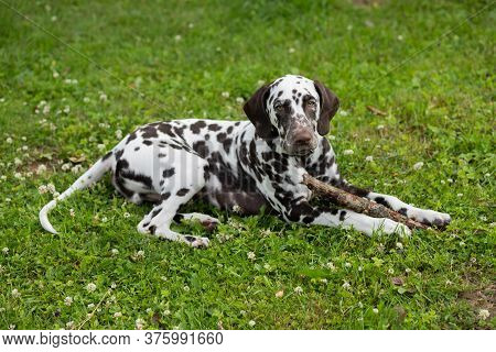 Sweet Cute Dalmatian Dog Puppy Lying On The Meadow And Chewing On A Branch Stick.4 Month Old Dog Che