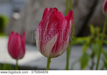 White Pink Tulips In Green Foliage. White And Pink Tulips. Pink And White Tulips. White And Pink Flo
