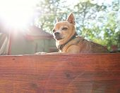a tiny chihuahua sunning himself on a deck poster