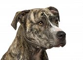 American Staffordshire terrier (18 months) in front of a white background poster