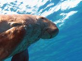 dugong known as sea cow in red sea in egipt poster