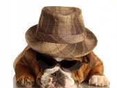 bulldog dressed up like gangster with fedora hat and sunglasses poster