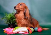Long haired dachshund sitting with decoration on green background poster