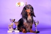 Studio portrait of black spotted long-haired dachshund on the lilac background poster