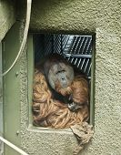 An old male orangutan stares out from his enclosure entrance. poster