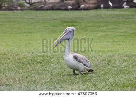 Pelican Bird On Green Grass Field