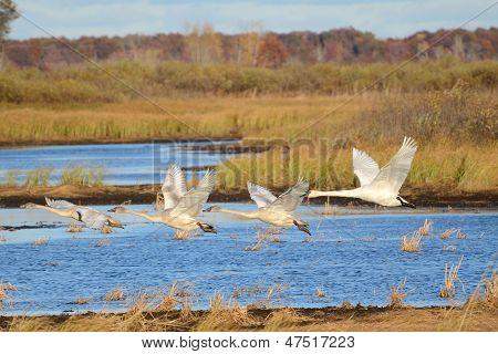 Four Trumpeter Swans Taking Flight