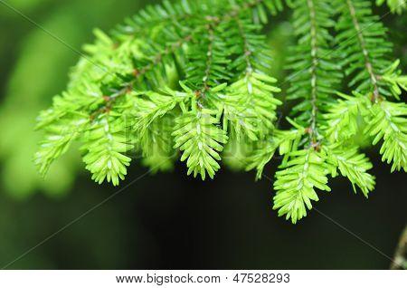 Hemlock Tree Leaf Detail