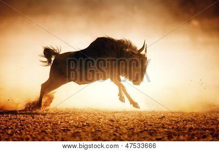 Blue wildebeest running in dust - Kalahari desert - South Africa