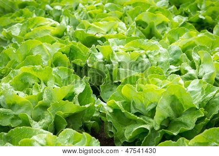 Fresh Green Salad Lettuce