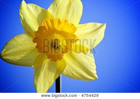 Daffodil Bright Yellow