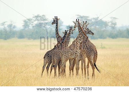 Herd Of Giraffes