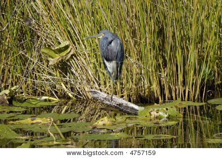 Great Blue Heron photographed in the Everglades National Park. poster