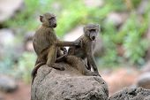 A couple of young olive baboons (Papio Anubis) sitting on a stone and grooming poster