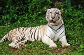 white tigers have been from the Bengal tiger subspecies. poster