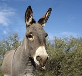 small grey donkey, often called burro in us southwest poster