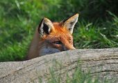 Red fox hunting for prey on a dark green background. poster