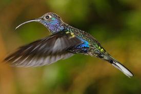 Männliche Violet Sabrewing Hummingbird