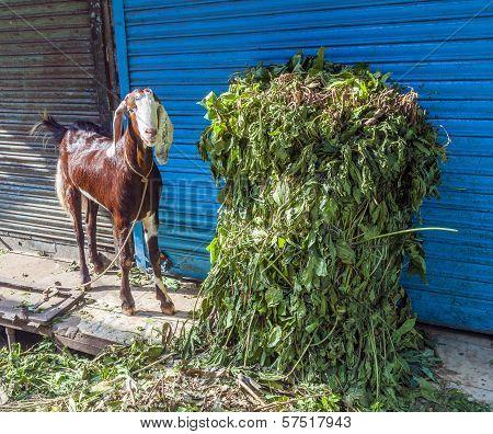 Goat Looks For Something To Eat In The Bazaar Street Of Old Delhi