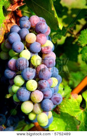 Grapes Ready for Harvest