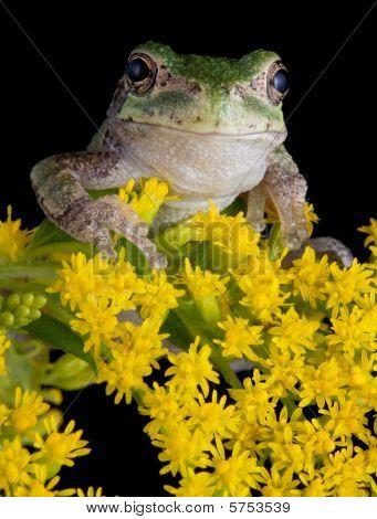 Gray Tree Frog On Goldenrod
