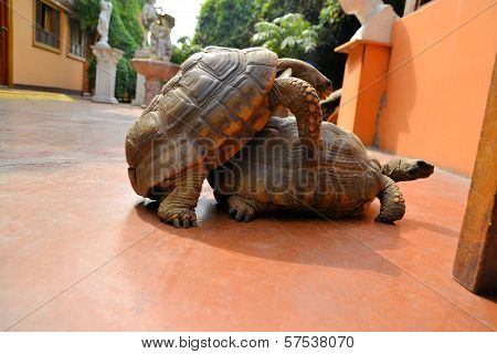 Mating Tortoise Turtle