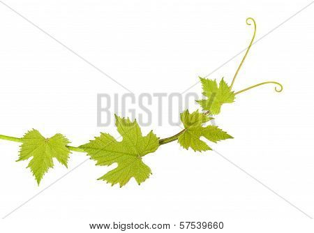 Vine Leaves
