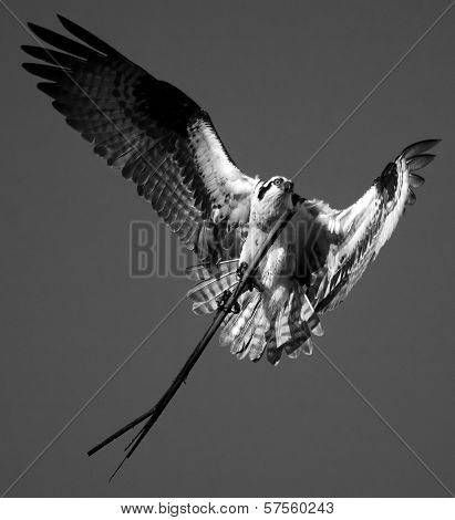 Osprey Carrying Very Long Stick To His Nest