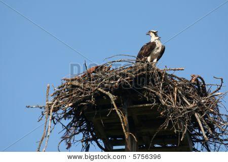 Osprey In Nest, Pandion Haliaetus.