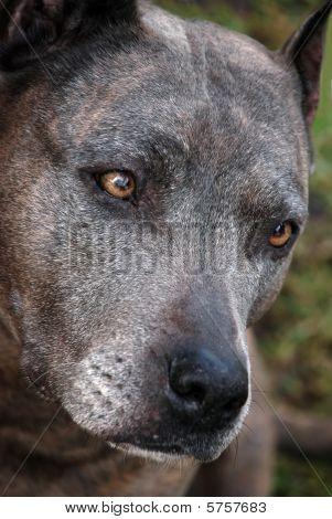 Sad American Staffordshire terrier