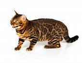 Bengal cat with reflection on white background poster