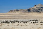 Sheep grazing in the west desert of Utah during winter. poster
