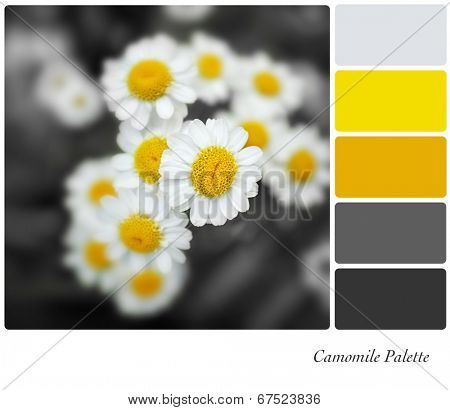 A closeup of camomile flowers with selective colouring, in a colour palette with complimentary colour swatches