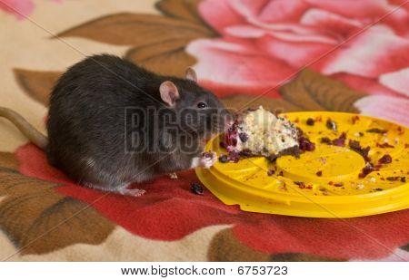 The black domestic rat eats a pie poster